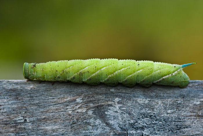 Гусеница с рогом на голове как называется. виды гусениц с фото и названиями