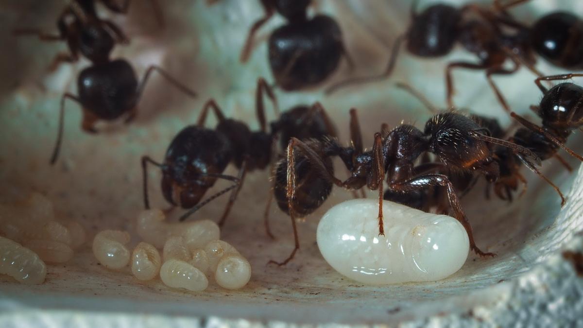 Как избавиться от чёрных муравьёв в доме или квартире, в саду и огороде