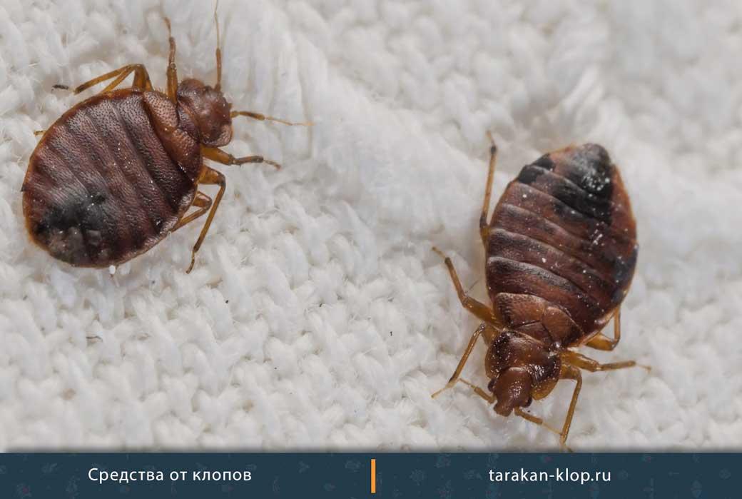 Полынь и пижма: природный инсектицид от клопов!