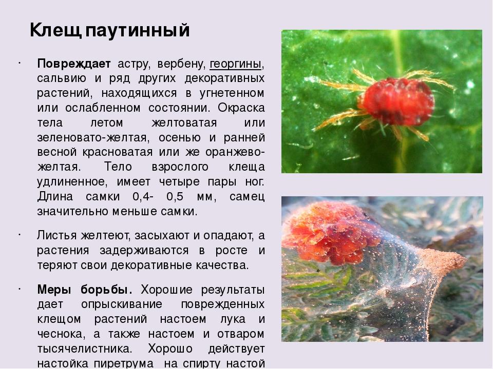 Паутинный клещ (tetranychinae). описание, профилактика и методы борьбы с паутинным клещом