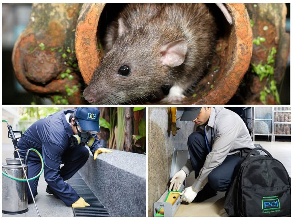 Уничтожение грызунов — дератизация крыс и мышей
