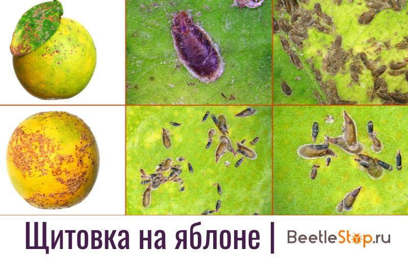 Вредители растений щитовки и червецы: фото и видео, как избавиться от щитовок и червецов