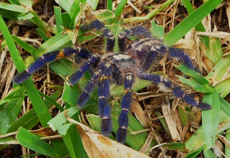 Про паука птицееда