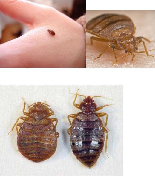 Личинки клопов: как они выглядят, фото нимф, инкубационный период постельных видов
