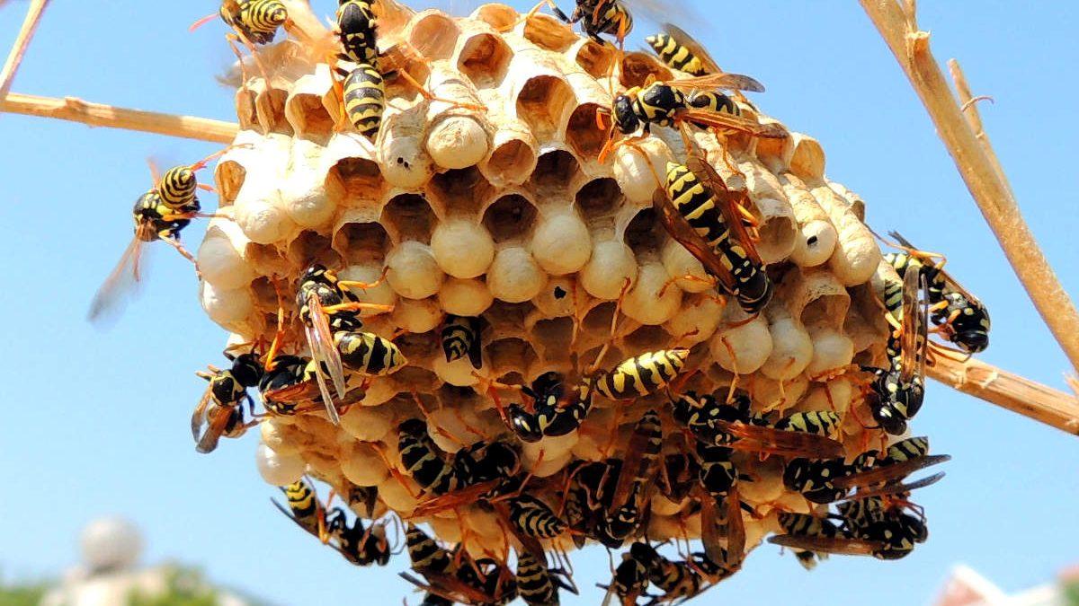 Может ли оса давать осиный мед