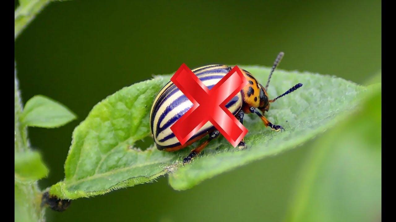 Как бороться с колорадским жуком: 10 способов