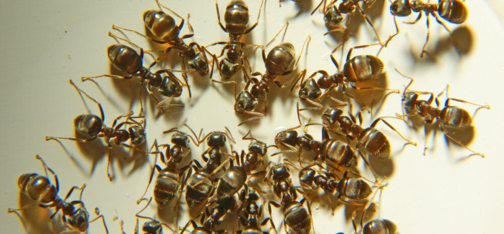 Домашние муравьи в квартире: причины появления, методы борьбы и выведения