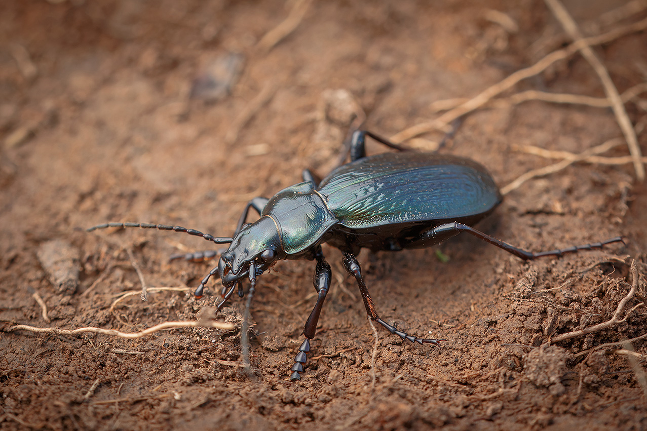 Жужелица решетчатая: места обитание и развитие хищных жуков