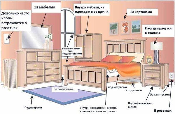 Как быстро размножаются постельные клопы и почему