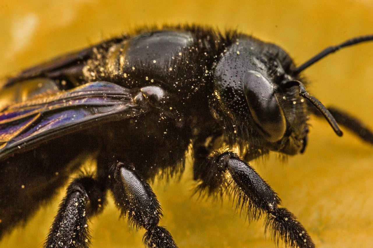 Пчела плотник (черный шмель) с синими крыльями, особенности вида
