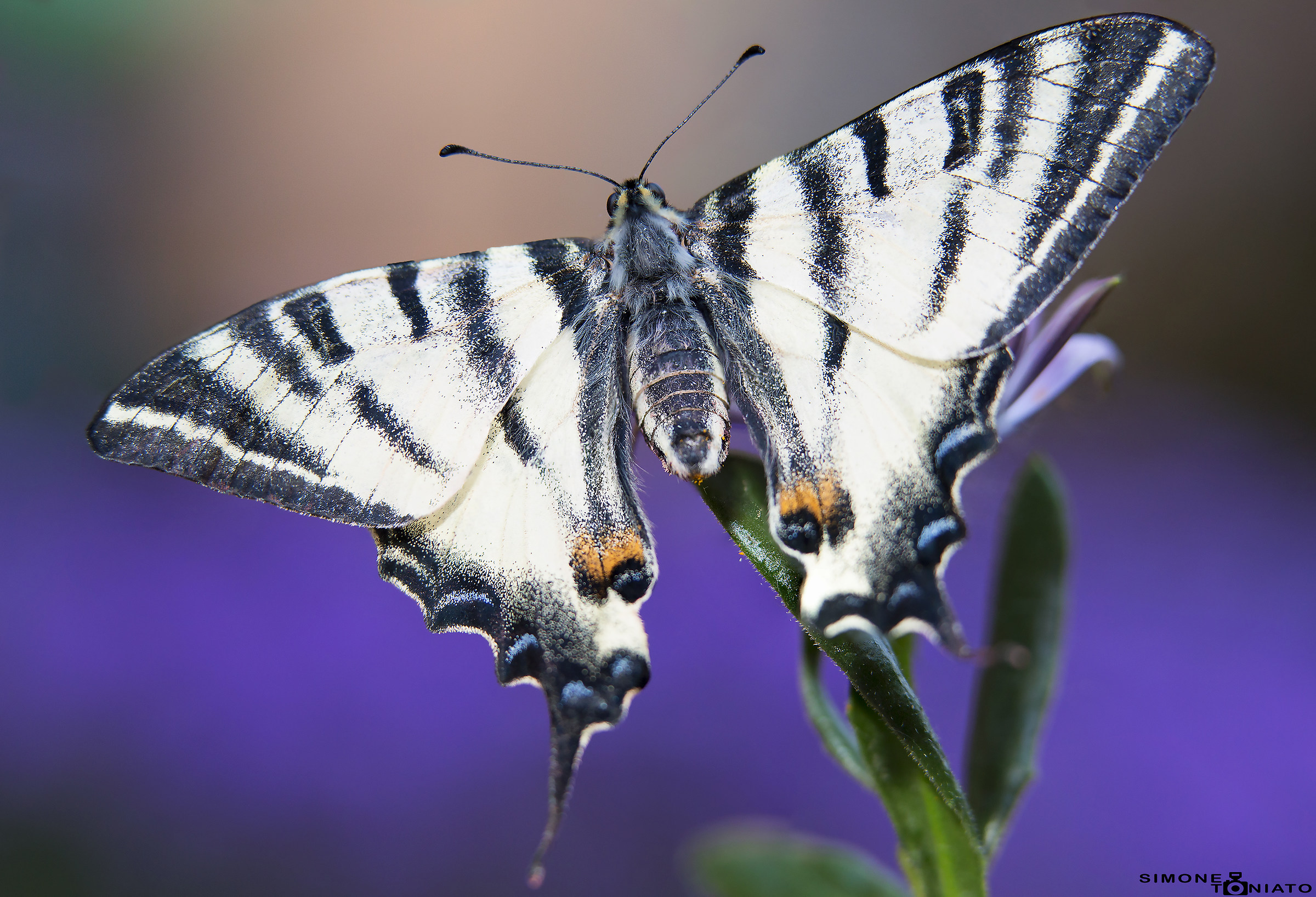 Махаон интересные факты. бабочка махаон: описание, интересные факты для детей. что любят бабочки махаон в домашних условиях, сколько живут? какого цвета бывают бабочки махаоны: фото. особенности и сре