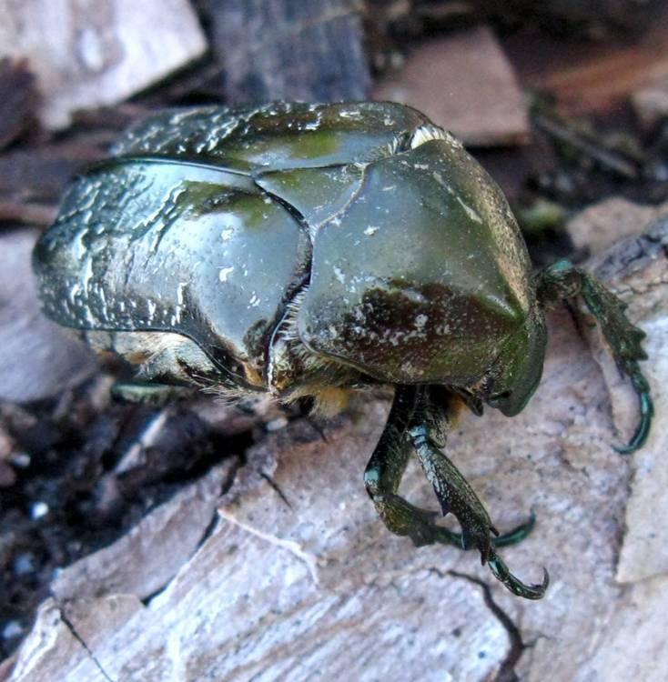 Нашествие жука: бронзовка мелкая зеленая и методы борьбы с ней. бронзовка