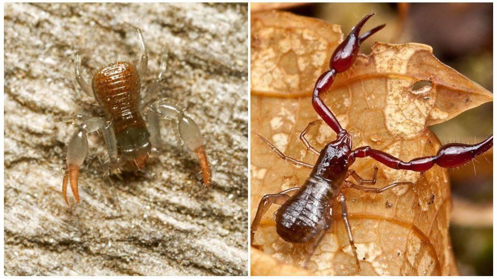 Ложноскорпионы — википедия. что такое ложноскорпионы