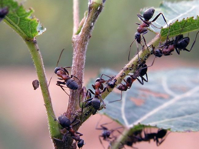 Лесные муравьи на даче как бороться