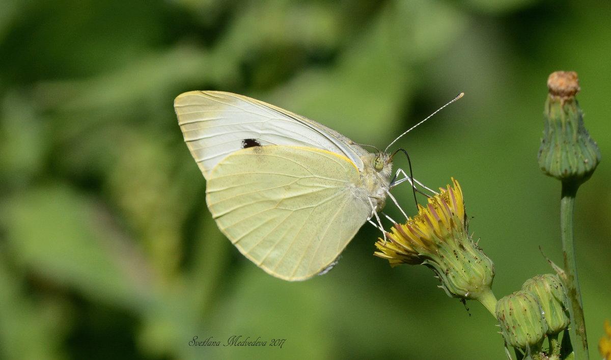 Бабочка-капустница – опасный вредитель огорода