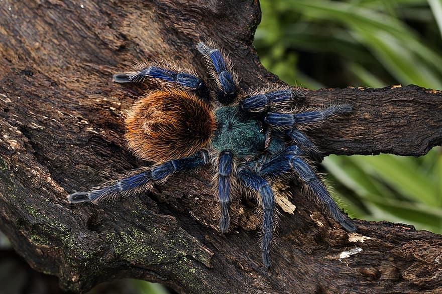 Синий птицеед: цириопагопус и другие виды голубых пауков