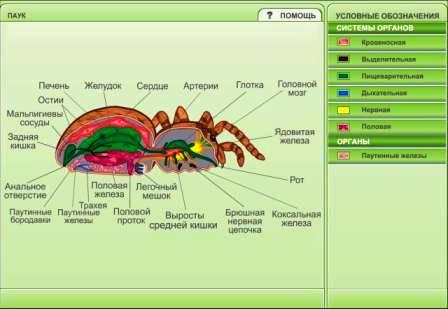 Паук-сольпуга: строение тела, жизненный цикл и размножение