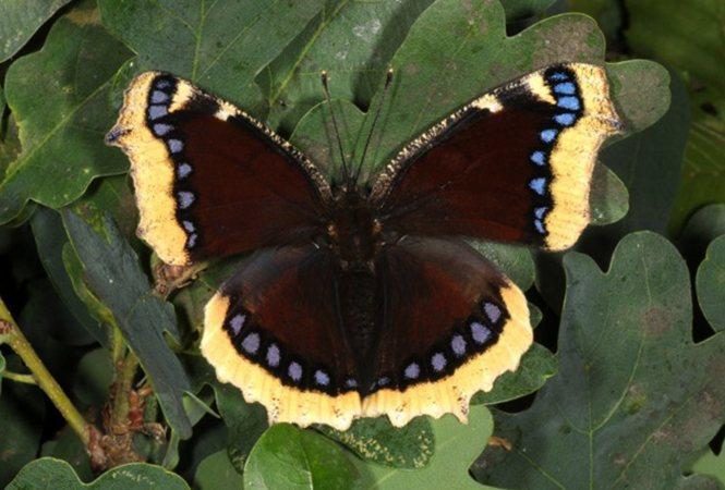 Бабочка репница - описание, среда обитания, виды