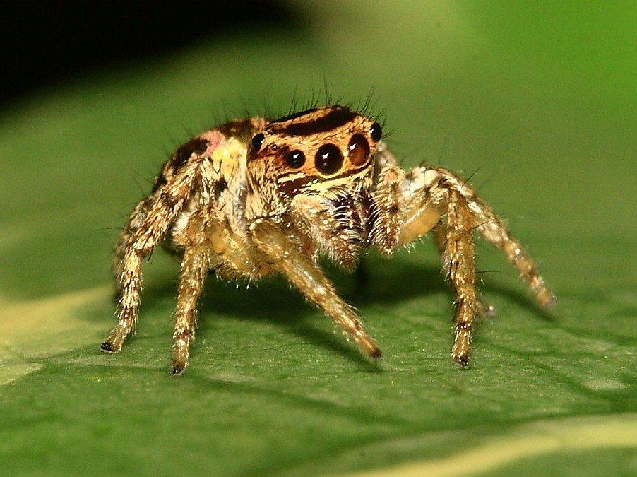 Паук-скакун – самый стремительный представитель своего семейства. паук-скакунчик – чемпион среди прыгунов паук скакун прыгает