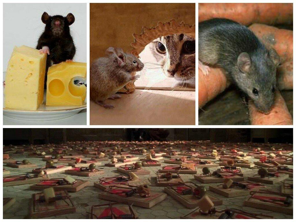 Как избавиться от крыс в квартире на первом этаже - эффективные средства и способы