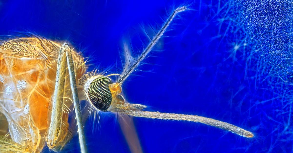Малярийный комар — переносчик малярии