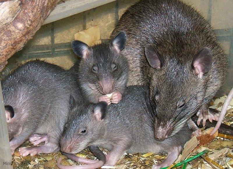 Гигантская хомяковая крыса - зоо мир