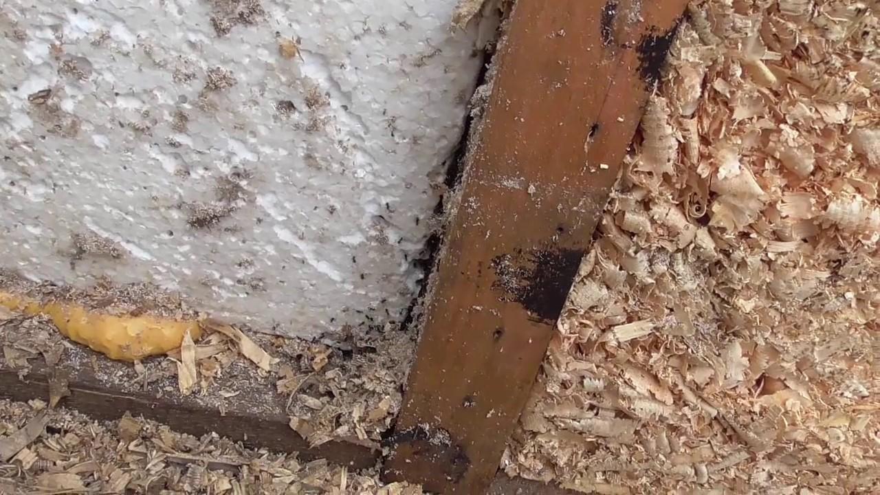 Чего боятся домашние муравьи в квартире?