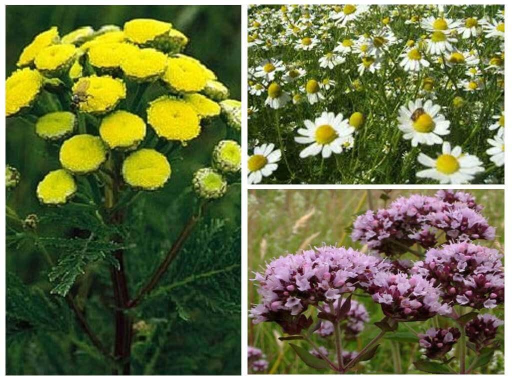 Комнатные цветы от моли - названия растений и эфирных масел, отпугивающих моль