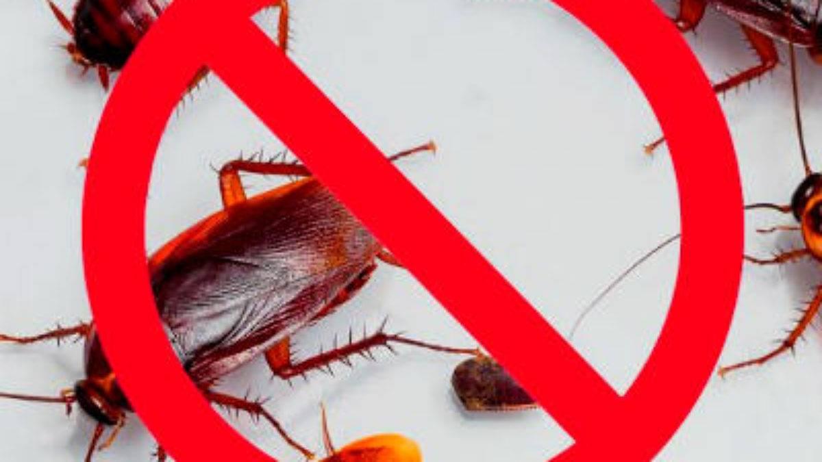 Укус таракана: кусаются ли домашние рыжие тараканы, почему они лезут на человека во сне