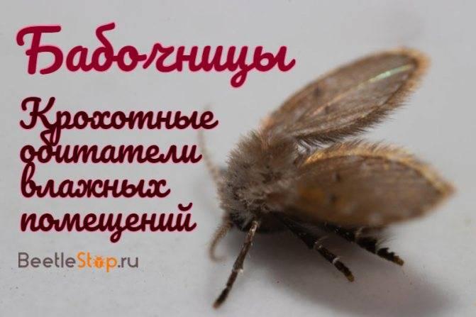 Бабочница: характеристика и методы борьбы