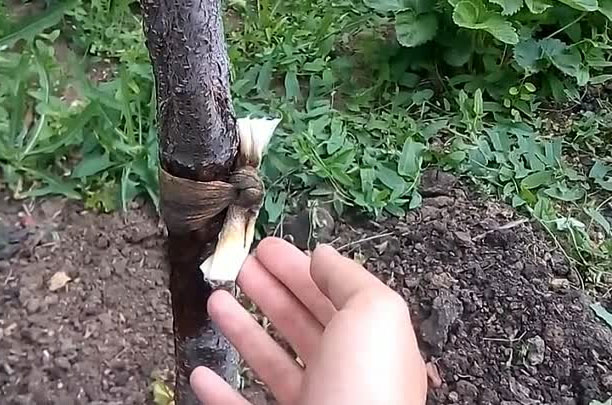 Подручные средства для сада и огорода: дегтярное и хозяйственное мыло, уксус и другие