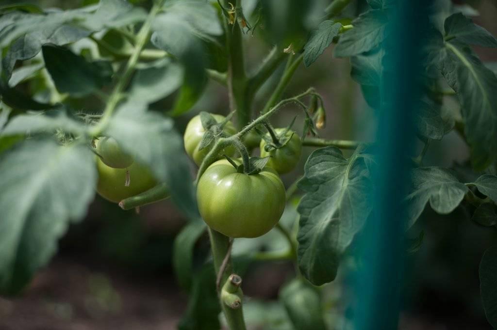 Как избавиться от белокрылки на томатах в теплице и огороде