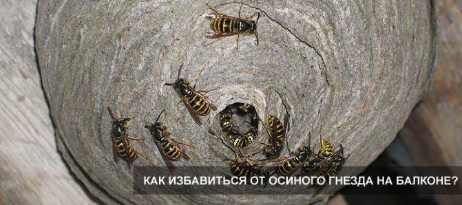 Как избавиться от осиного гнезда на балконе: уничтожение ос