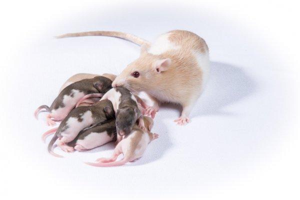 Как часто спариваются и размножаются крысы?