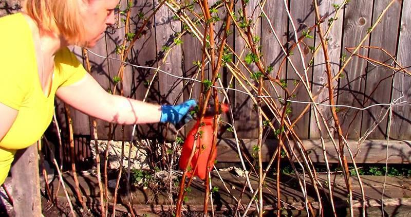 Чем и как обработать малину весной от болезней и вредителей: сроки и способы обработки