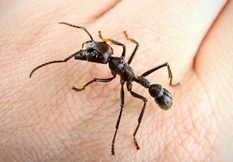 Муравей-пуля – самый опасный муравей в мире
