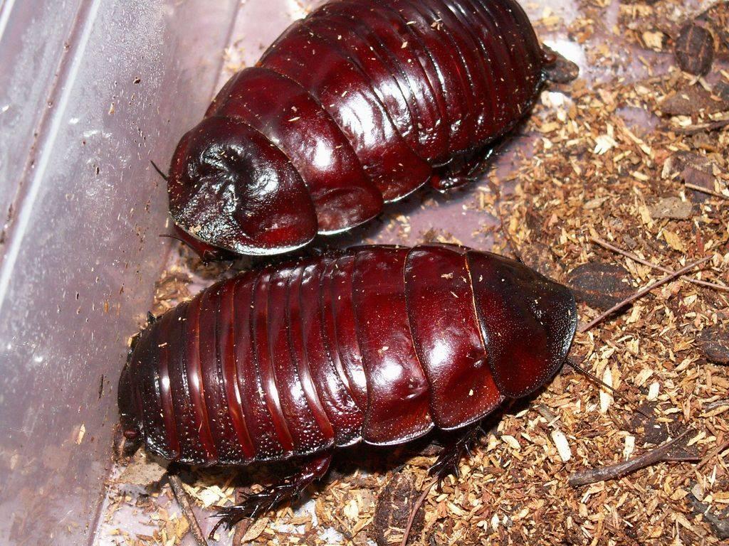 Самые большие тараканы в мире: названия, фото и описания