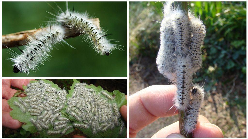 Гусеница – описание, виды, фото, ядовитые и красивые гусеницы