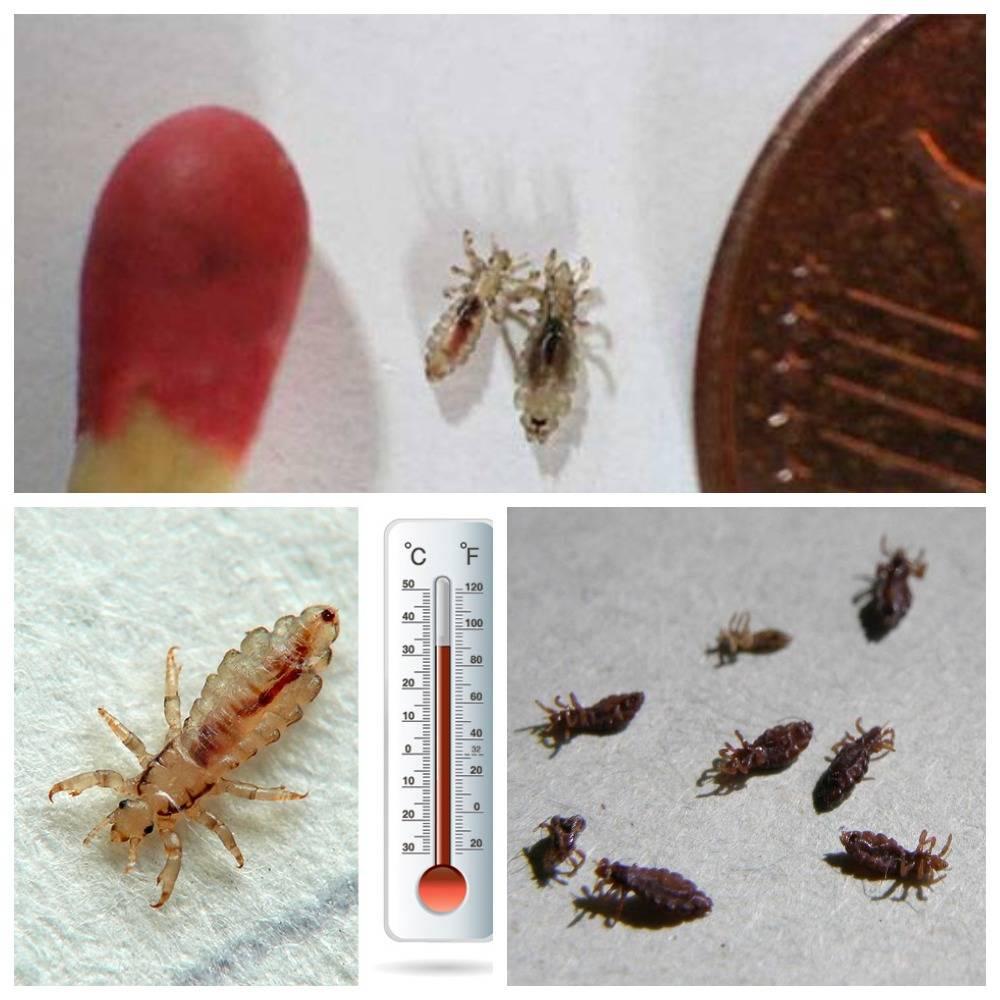 При какой температуре погибают вши и гниды при какой температуре погибают вши и гниды