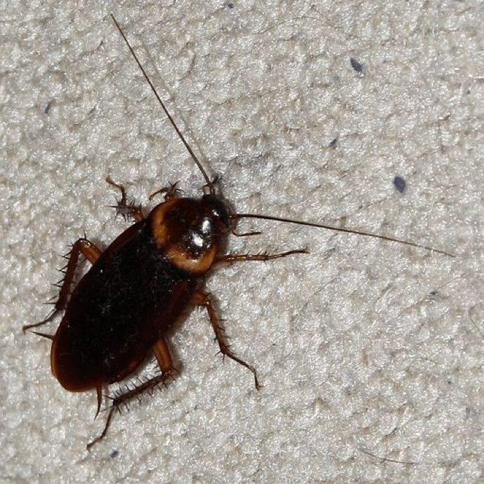 Тараканы: виды, особенности, как выглядят и как отличать