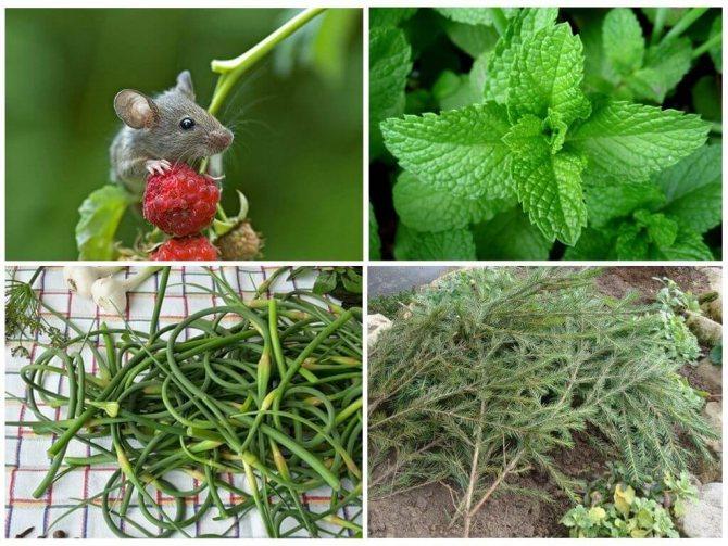 «мыши в пляс»: как защитить дом и сад от мышей зимой