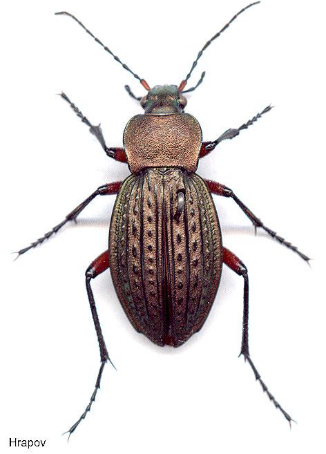 Жужелица – виды, описание насекомого, фото, образ жизни и среда обитания