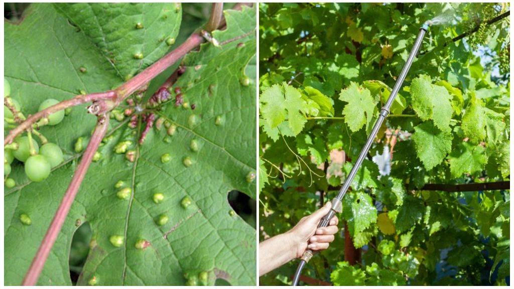 Паутинный клещ на винограде.
