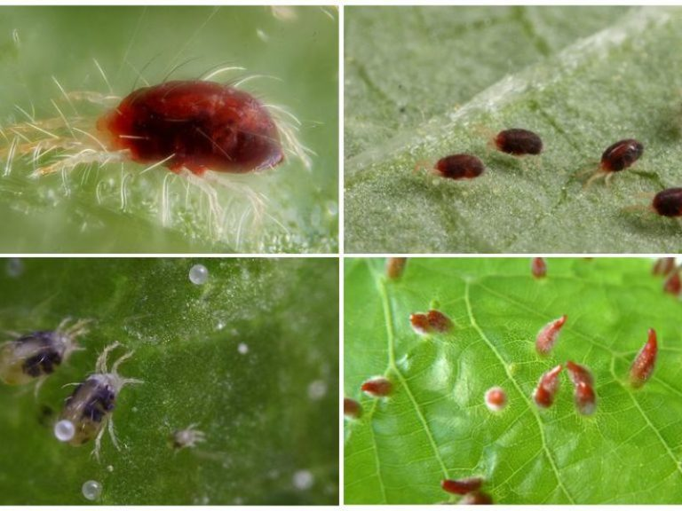 Народные средства борьбы с паутинным клещом: мыло, нашатырь, лук и чеснок
