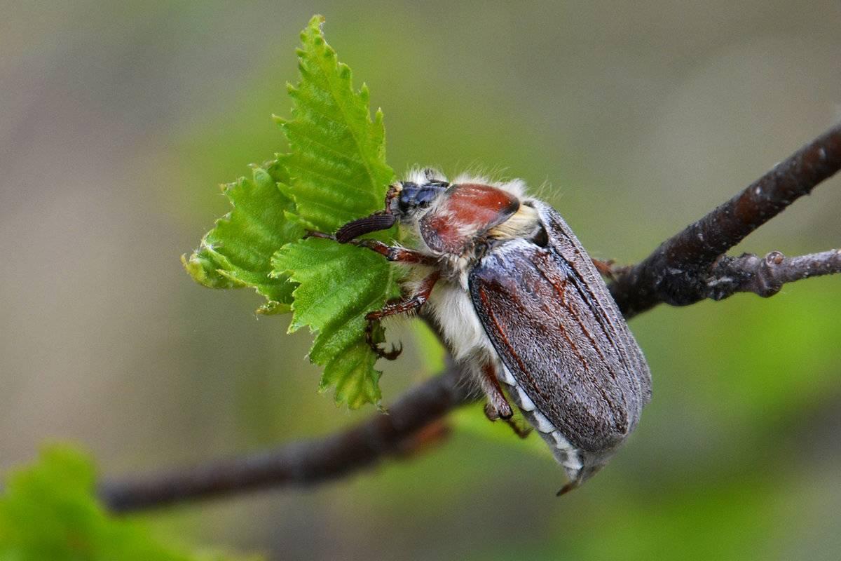 Жуки вредители растений: как бороться с вредителями сада и огорода