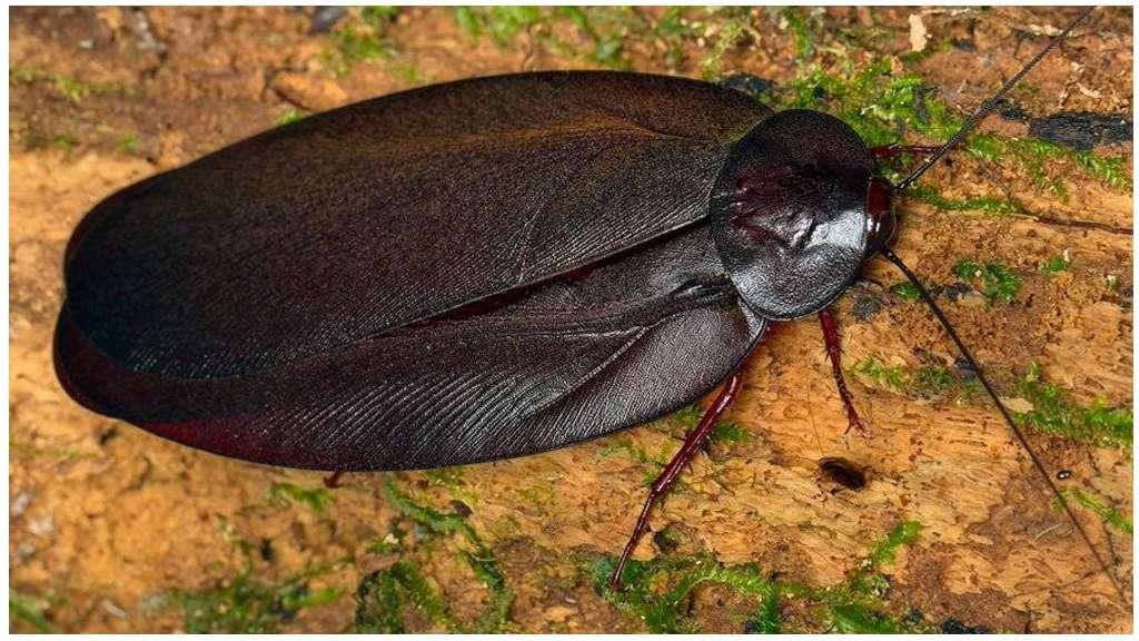 Белые тараканы: описание и фото