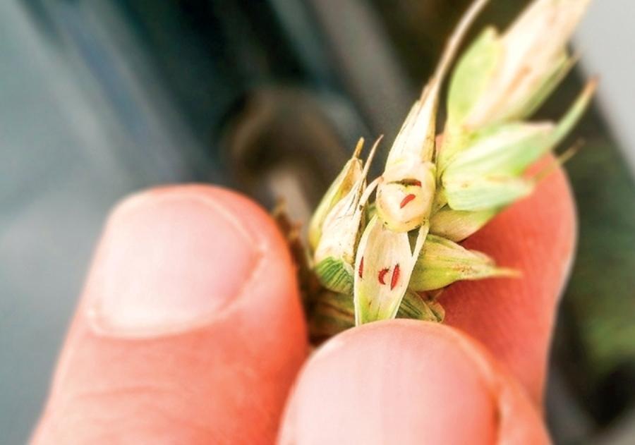 Технология возделывания яровой пшеницы   fermer.ru - фермер.ру - главный фермерский портал - все о бизнесе в сельском хозяйстве. форум фермеров.