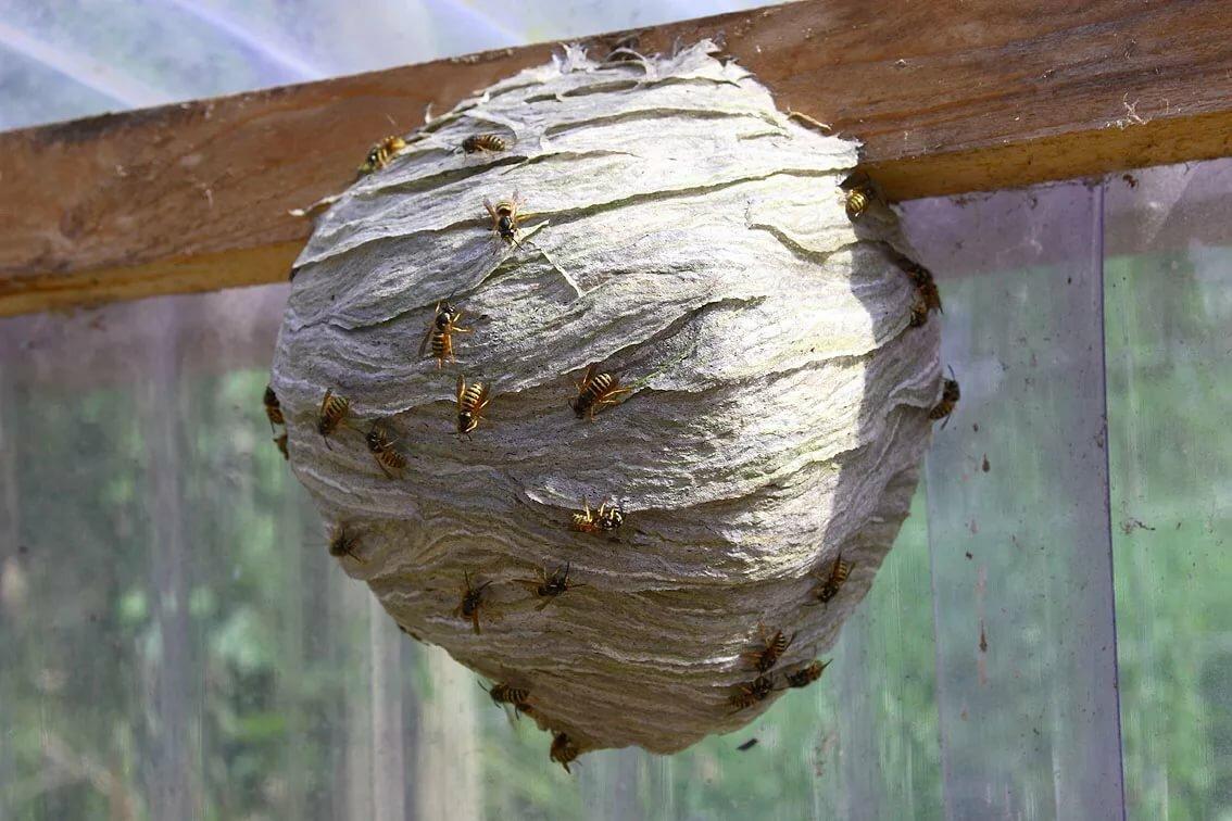 Осиные гнезда — целебные свойства