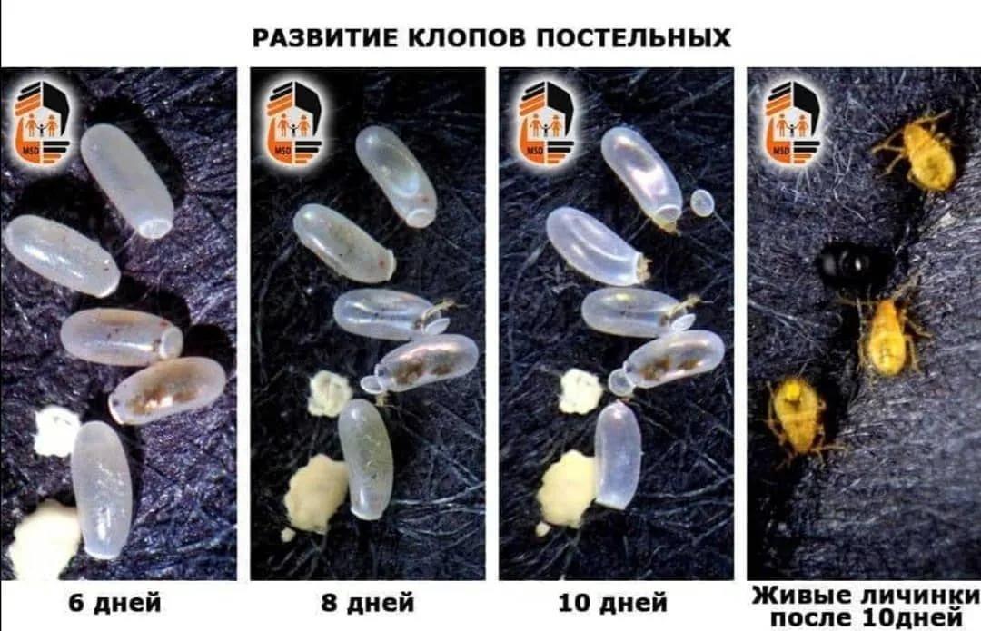 Избавляемся от клопов – все факты о личинках и потомстве. личинки моли домашней: как выглядят, где заводятся и как избавиться? от чего погибнут яйца личинки блох