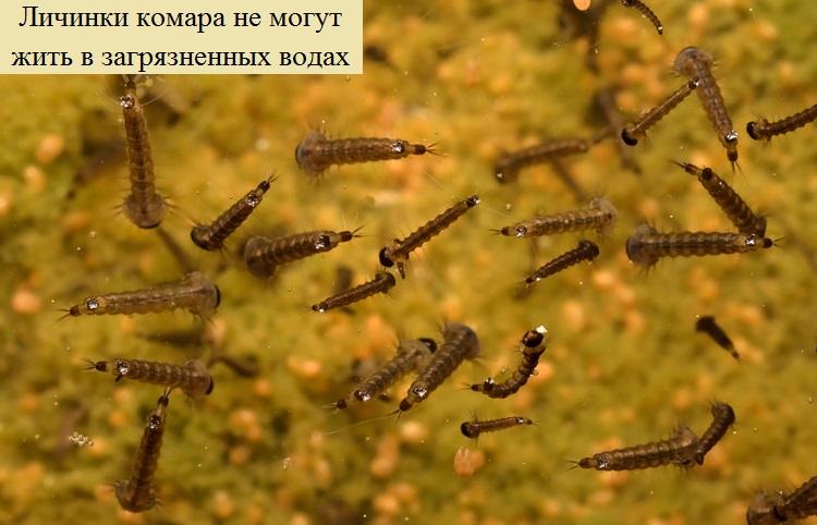 Личинка комара: интересные подробности